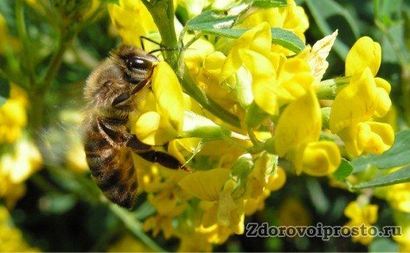 Вот так пчёлки и собирают пыльцу из цветов донника для изготовления мёда.