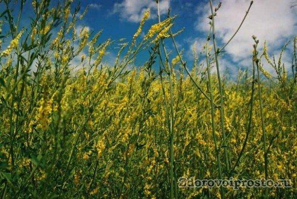 Так выглядят жёлтые источники всех полезных свойств и противопоказаний донникового мёда.