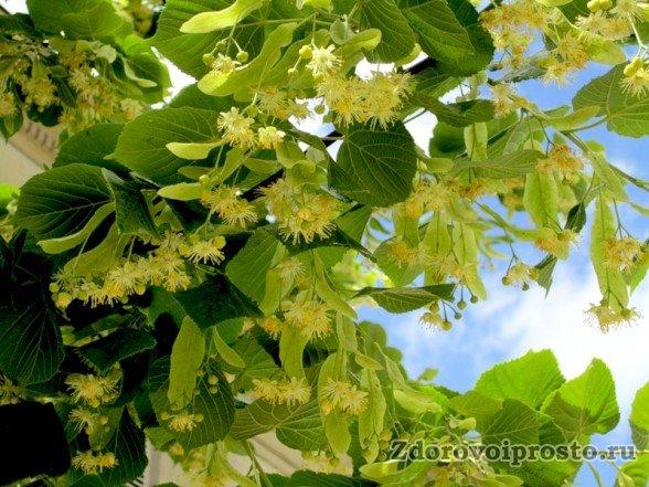 Полезные свойства и противопоказания липового мёда уходят своими корнями в липу.