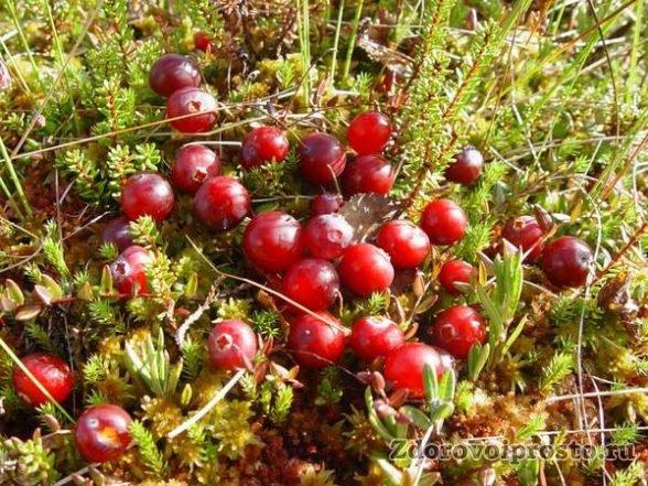 Полезные свойства и противопоказания клюквы с мёдом обусловлены прежде всего содержанием вот этих красных бусинок.