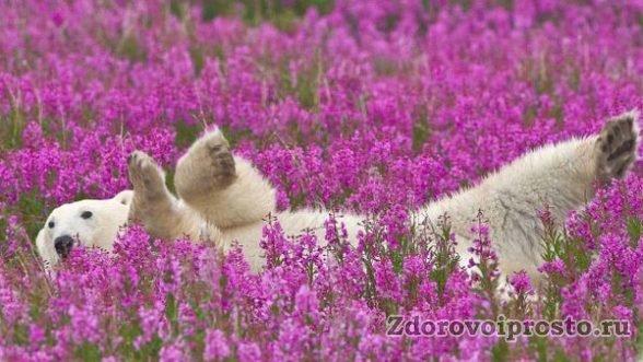 От высоких температур и у белого медведя, и у кипрейного мёда полезные свойства и противопоказания перекручиваются да портятся.